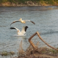 Pelican Water Play