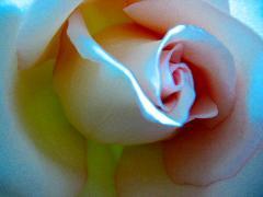 rose_sm