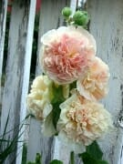 Hollyhocks Bunch