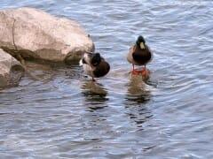 Spring Ducks