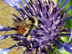 Bee Bee Balm