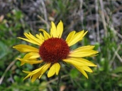Mountain Coneflower