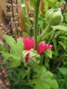 Hollyhock Buds
