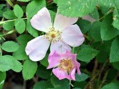Wild Rose Duo