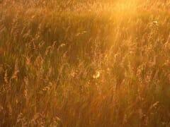 fieldsofgold2_sm