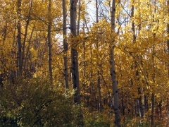 yellowforest
