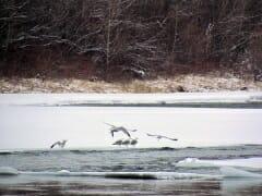 Frozen Gulls