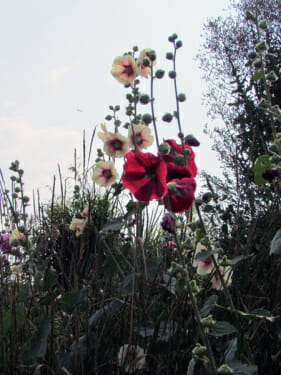 wild hollyhocks