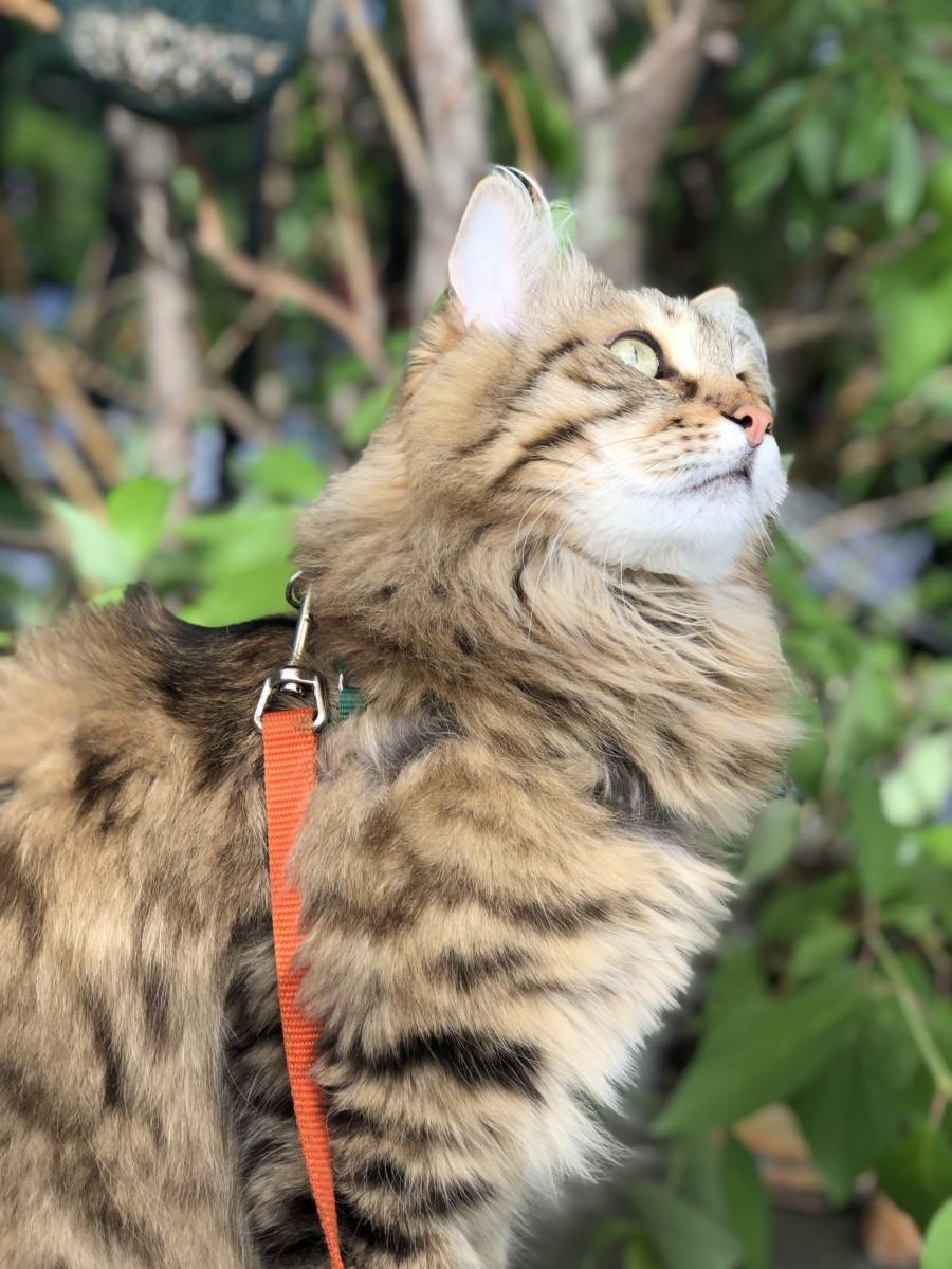 Siberian Forest Cat Hugo