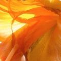 Yellow Orange Lily