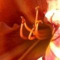 Orange Red Lily