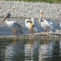 Pelicans Ducks & Seagulls