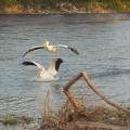 Pelican Water Play