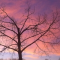 Pink Trees