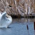 Swan Opening Wings