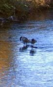 togetherness geese