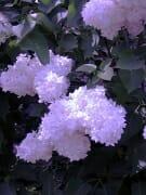 lilacs white