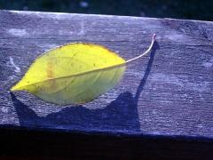 Yellow Leaf