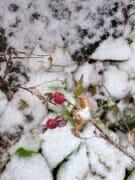 Snowy Rosehips