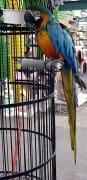 Sweet Pea Parrot