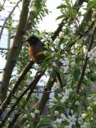 Robin Blossoms