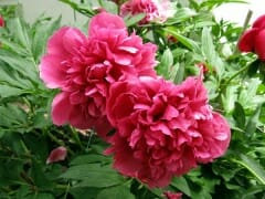 Pink Peonies Two