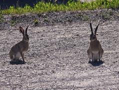 Rabbit Luck