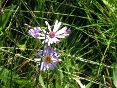 Alpine Flower Mauve