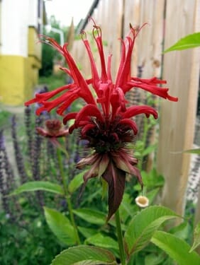 Red Bee Balm