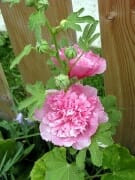 Double Pink Hollyhock