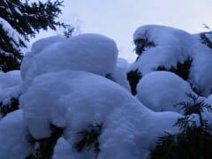 Snow Pine