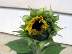 Sunflower Tall