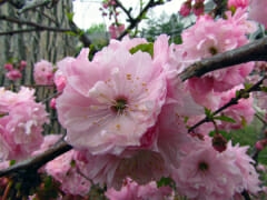 spring-pink
