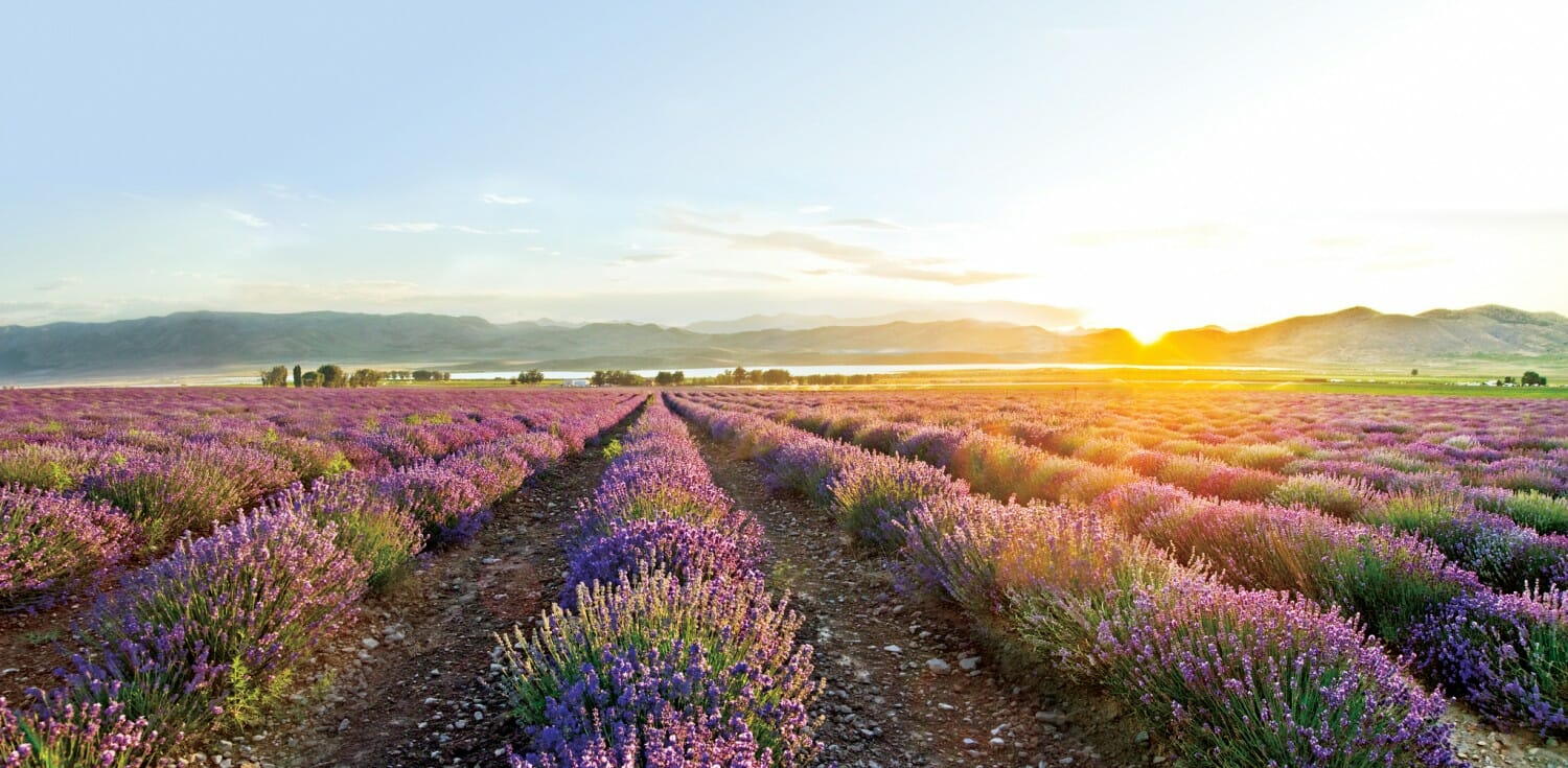 young living lavendar aromatherapy