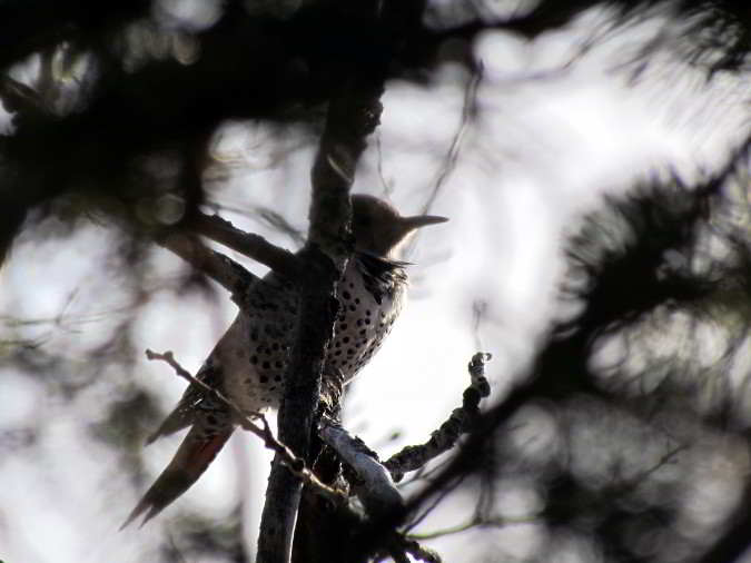 northern-flicker-sillouhette
