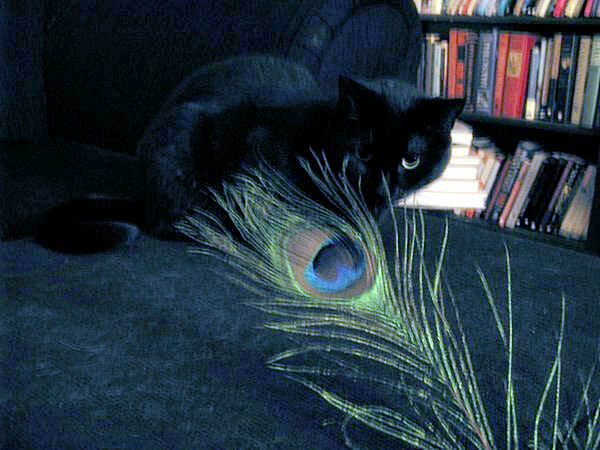 cat-eye-peacock-feather
