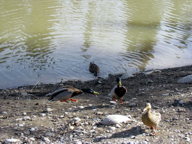 duck competition