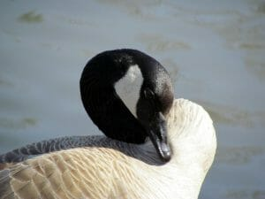 early may days-canada-goose-heart