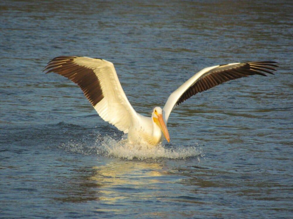 Pelican Wingspan