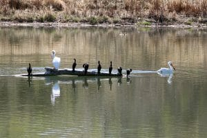 Pelicans & Cormorants