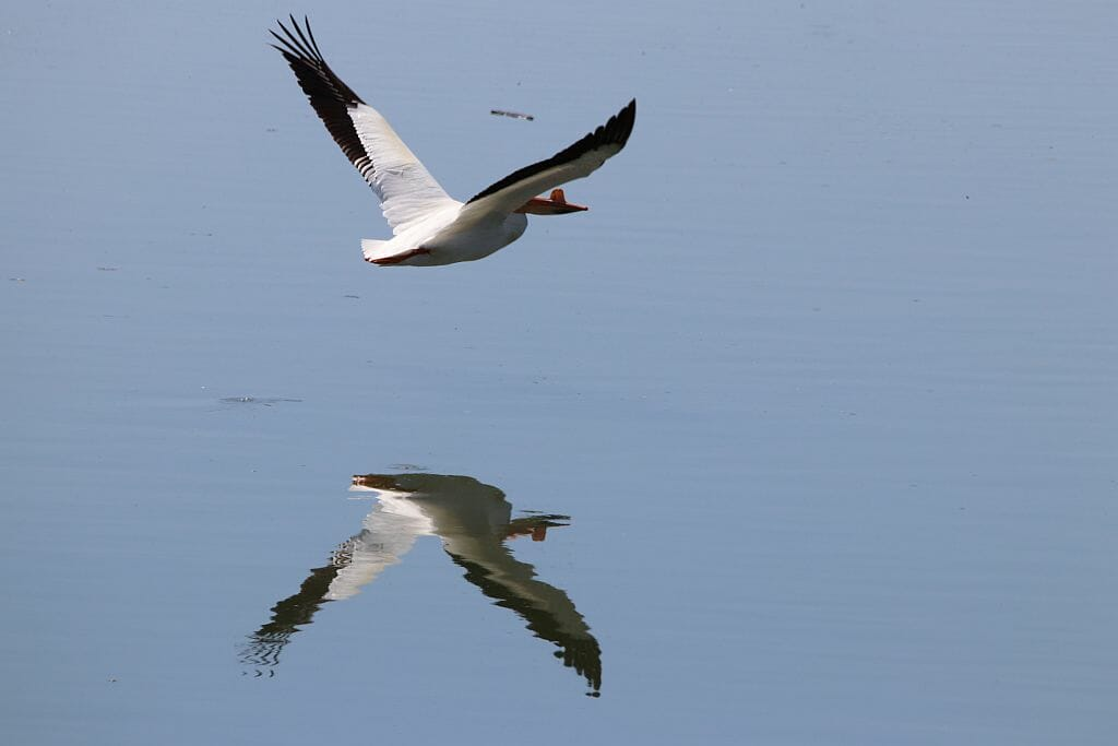 Pelican in Flight with Reflection
